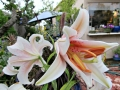 asiatic-lilies