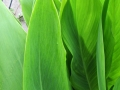 canna-leaves
