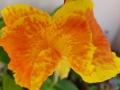 orange-canna