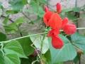 scarlet-runner-blossom