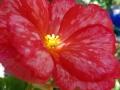 tuberous-begonia