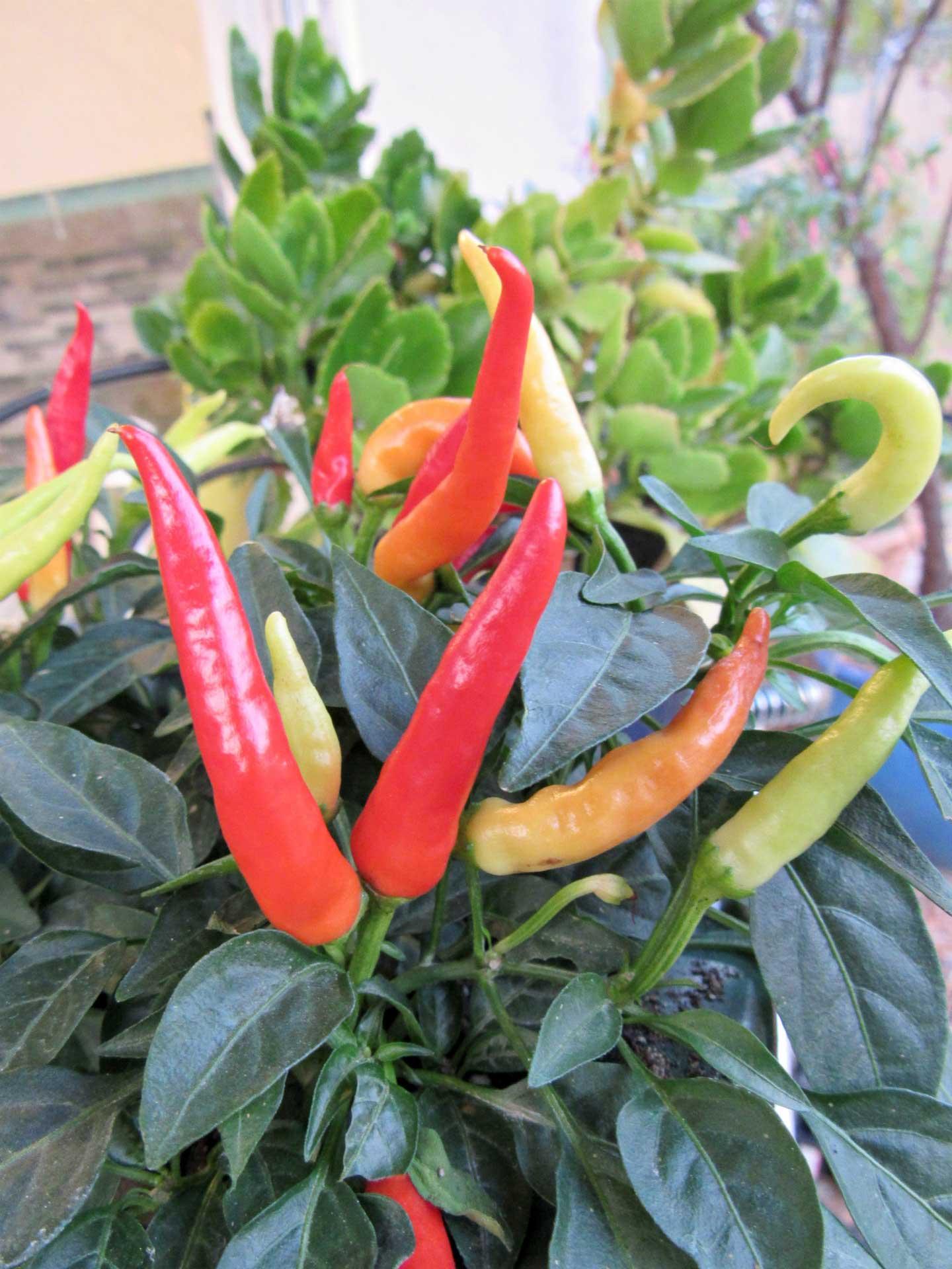 ornamental-chile