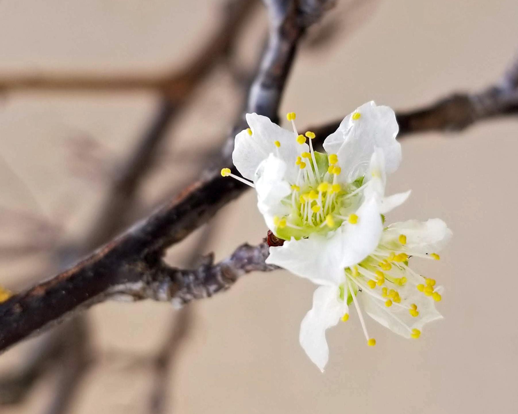 plum-blossoms-nov25