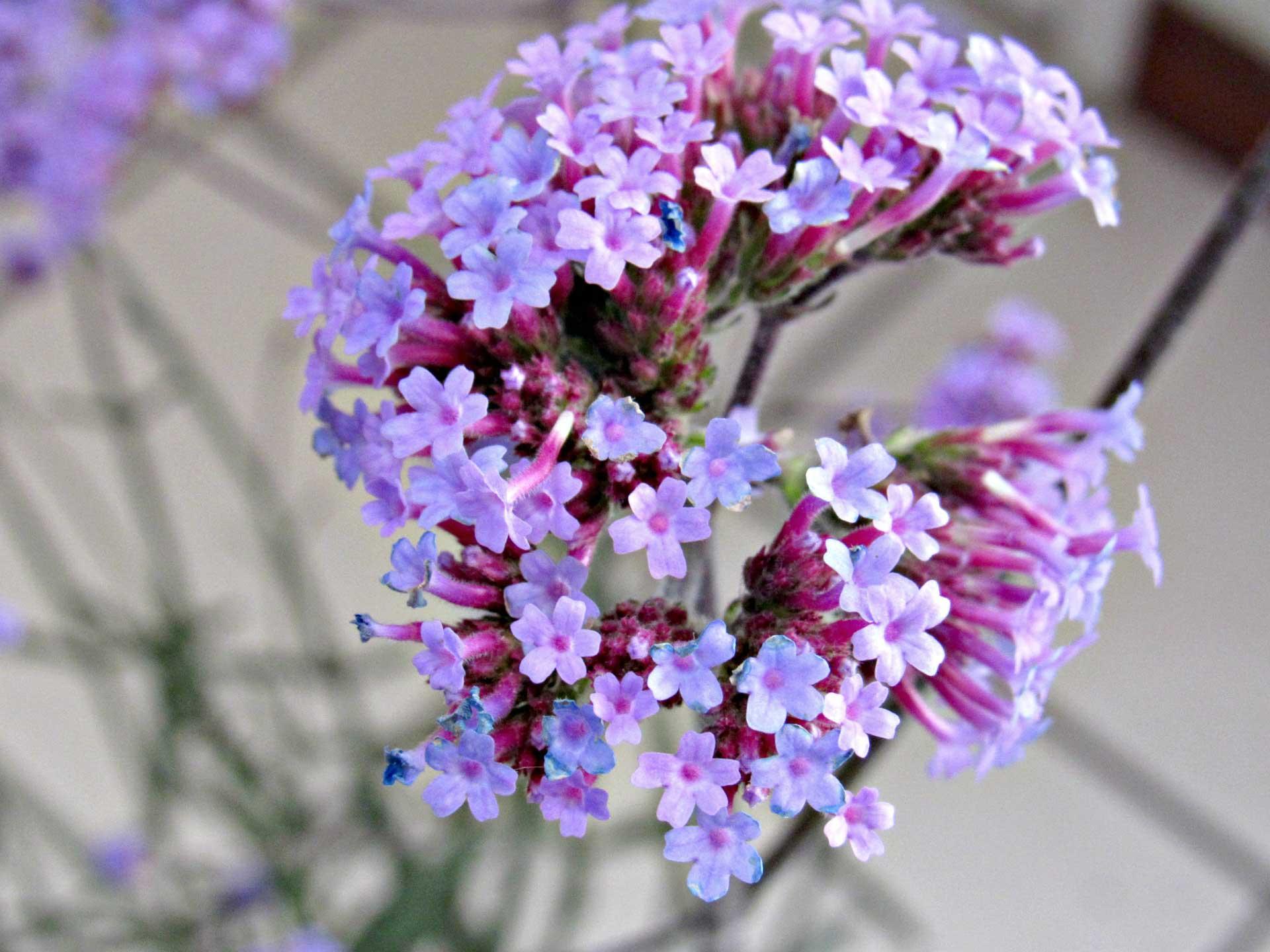 purple-top-verbena