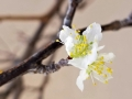 plum-blossoms-nov25