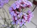 purple-top-verbena
