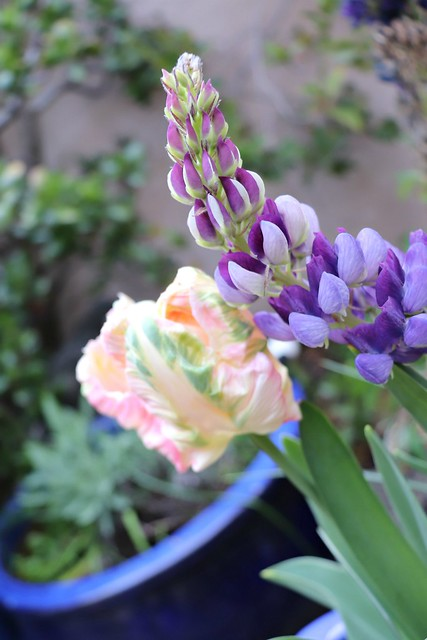 Tulips and Lupine