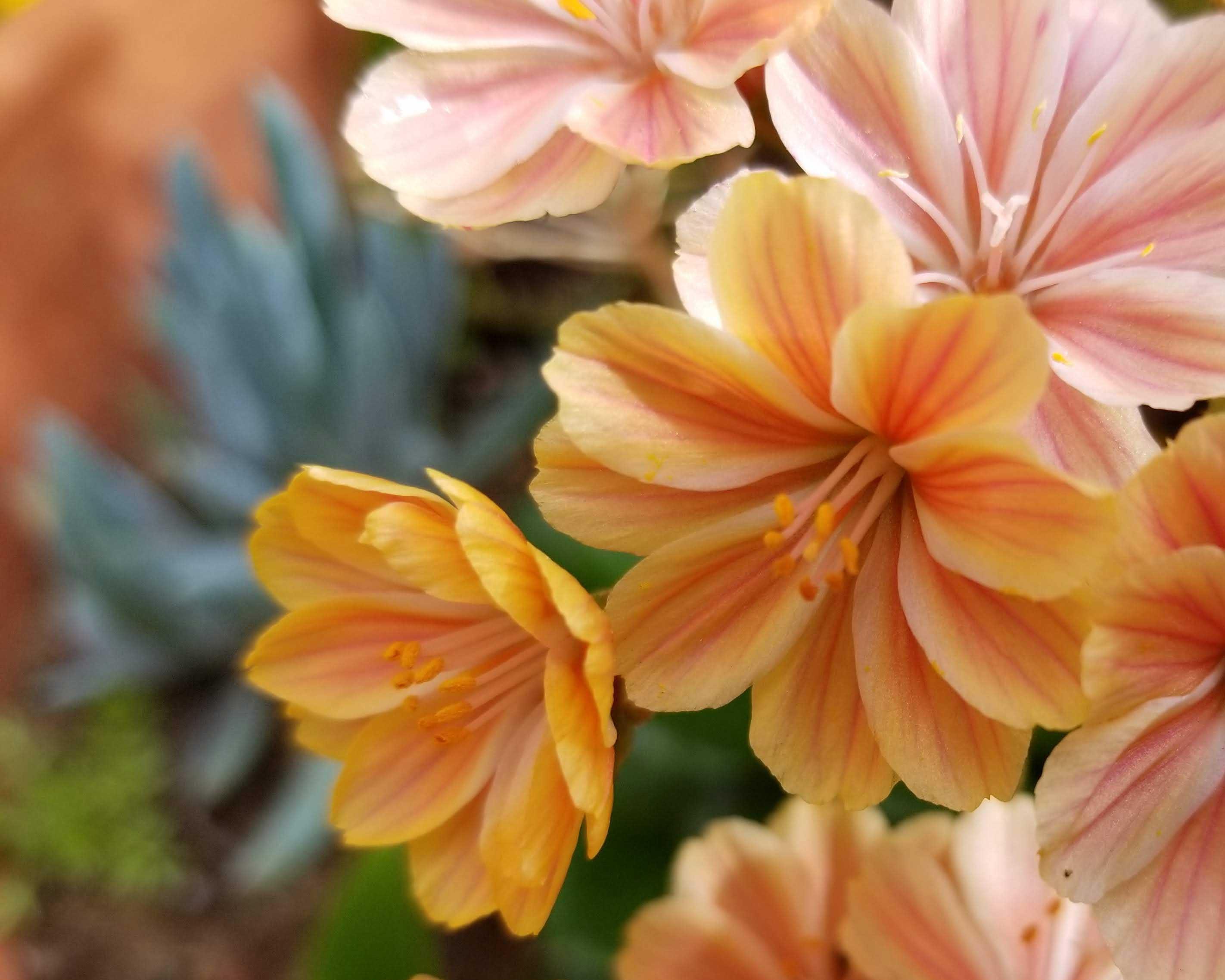 orange-lewisia
