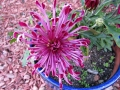 Pittsburg Purple Mum