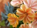 orange-lewisia