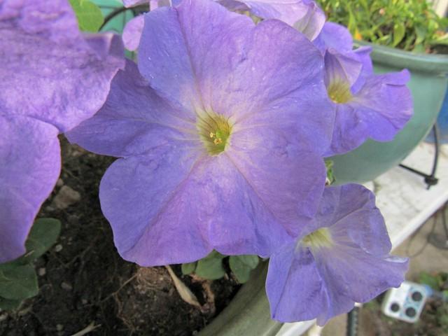 petunias2