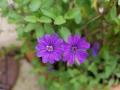 bill-wallis-geraniums