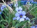 blue-eyed-grass