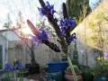 lavendar-backyard