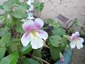mega-monkey-flower