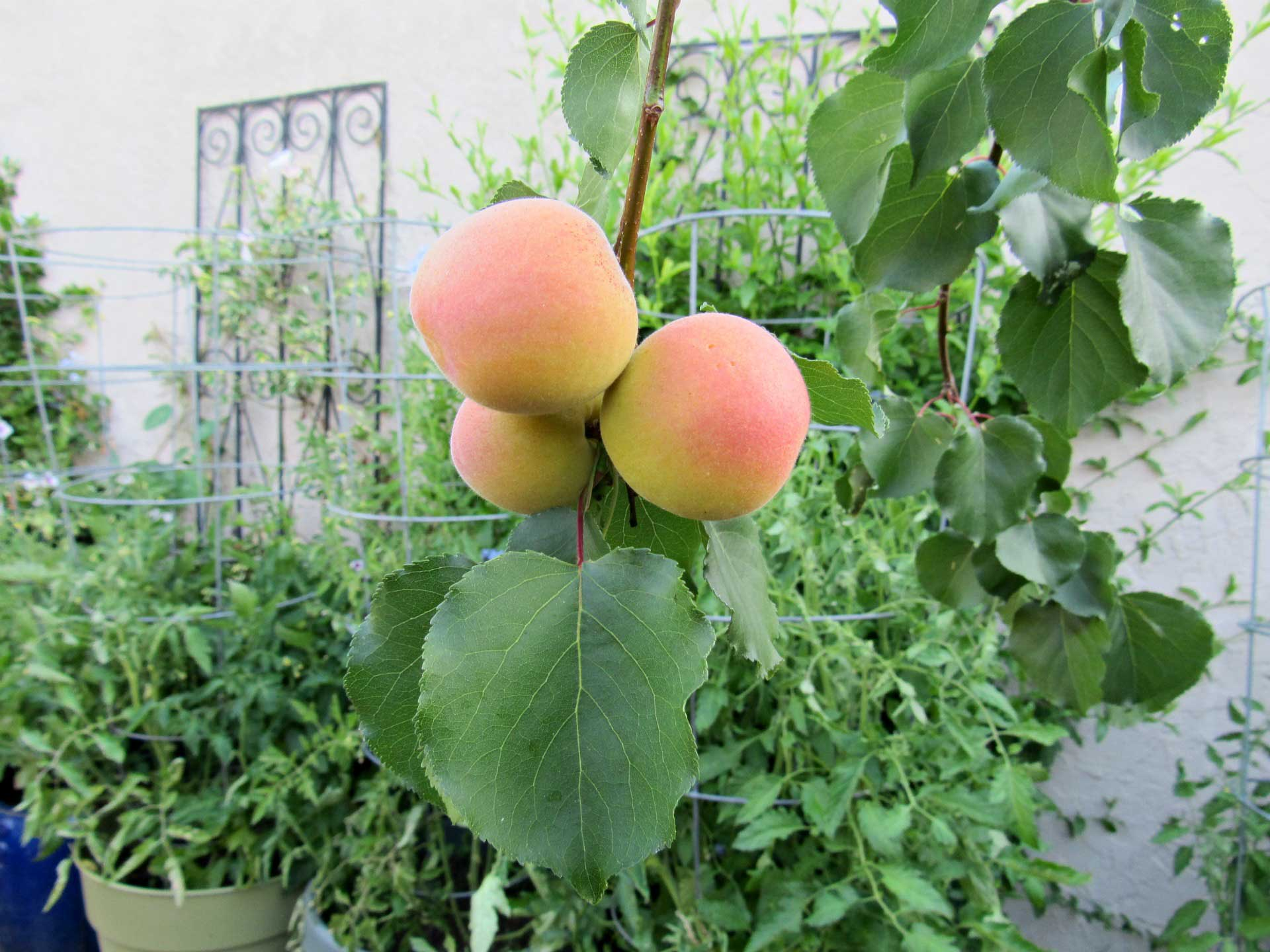 2019-june-apricots