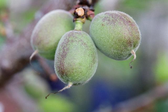 apricot-new-fruit