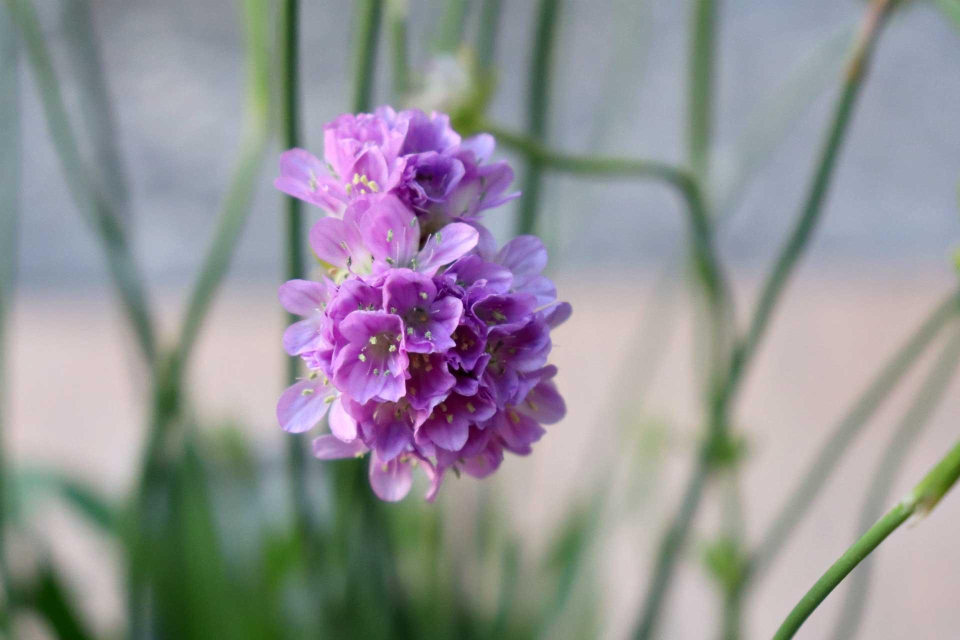 armeria-ballerina-lilac