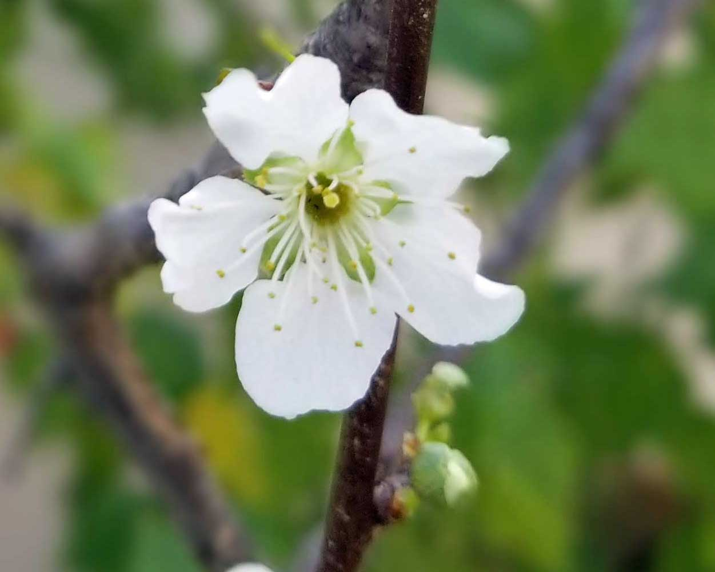 first-santarosaplum-blossom