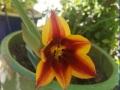 wild-tulip-3