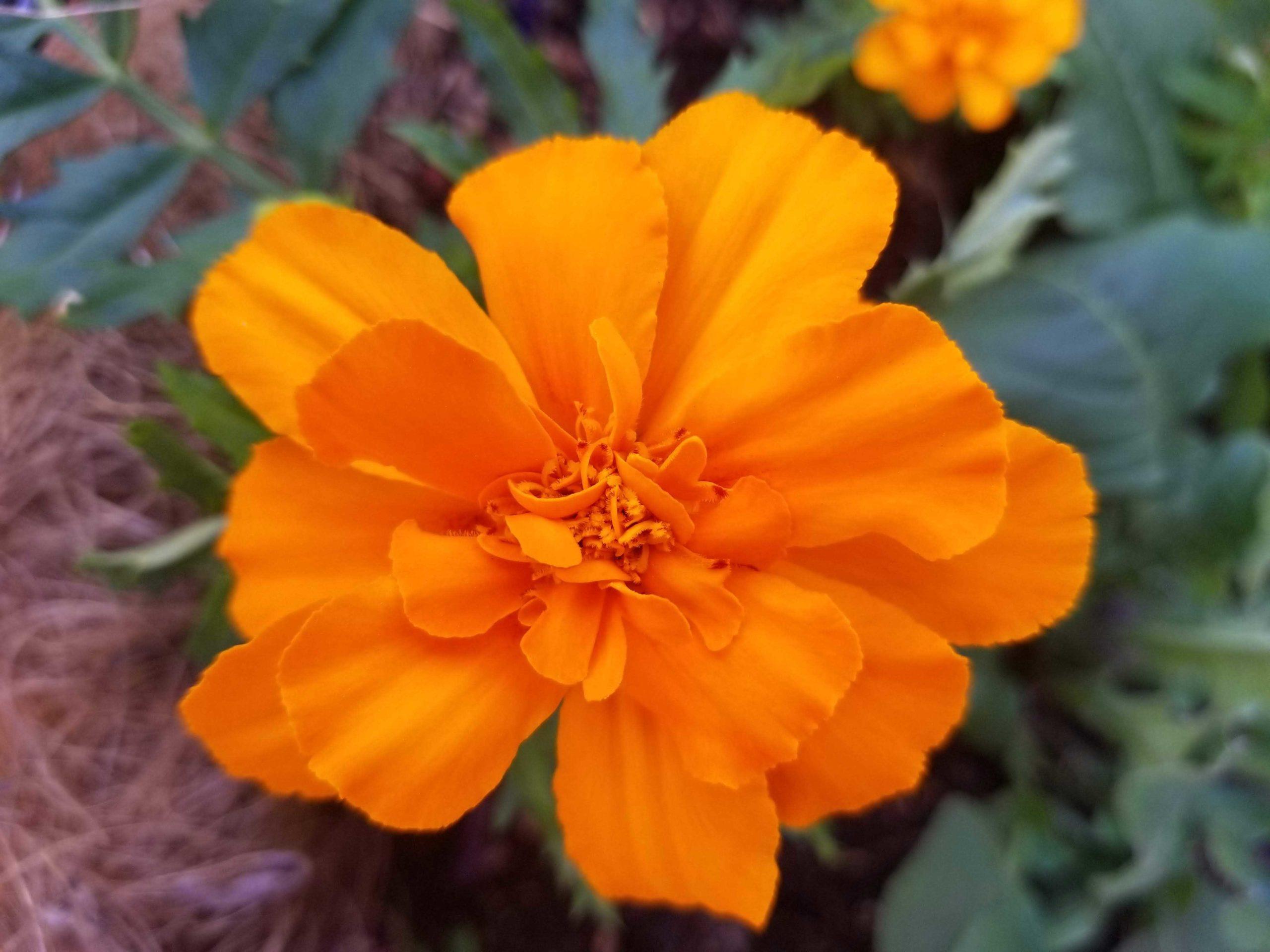 marigolds-scaled