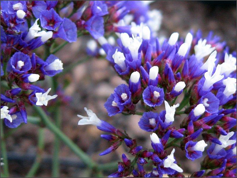 sea_lavender