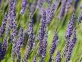 lavender-317001_640