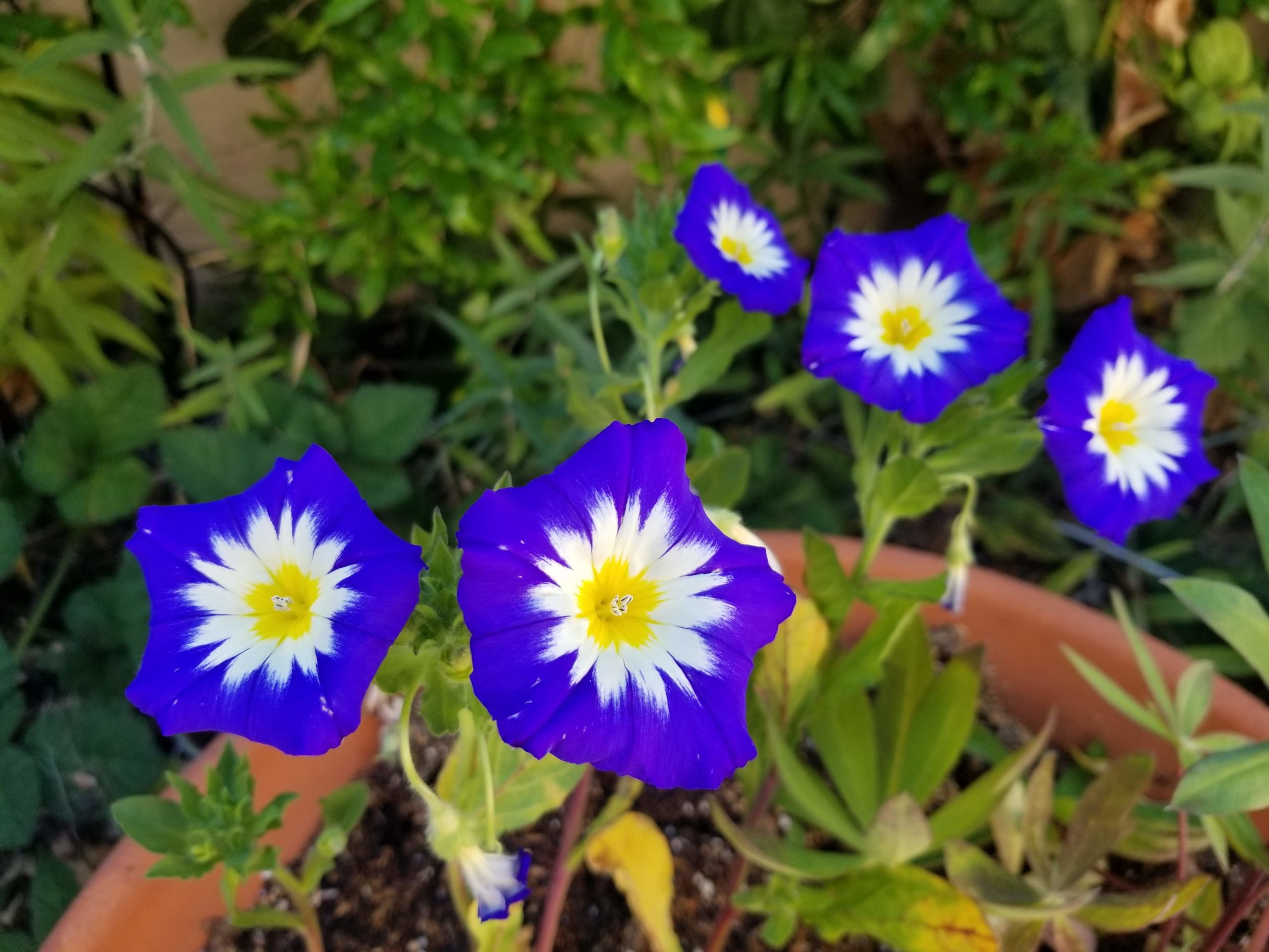 blue ensign morning glory