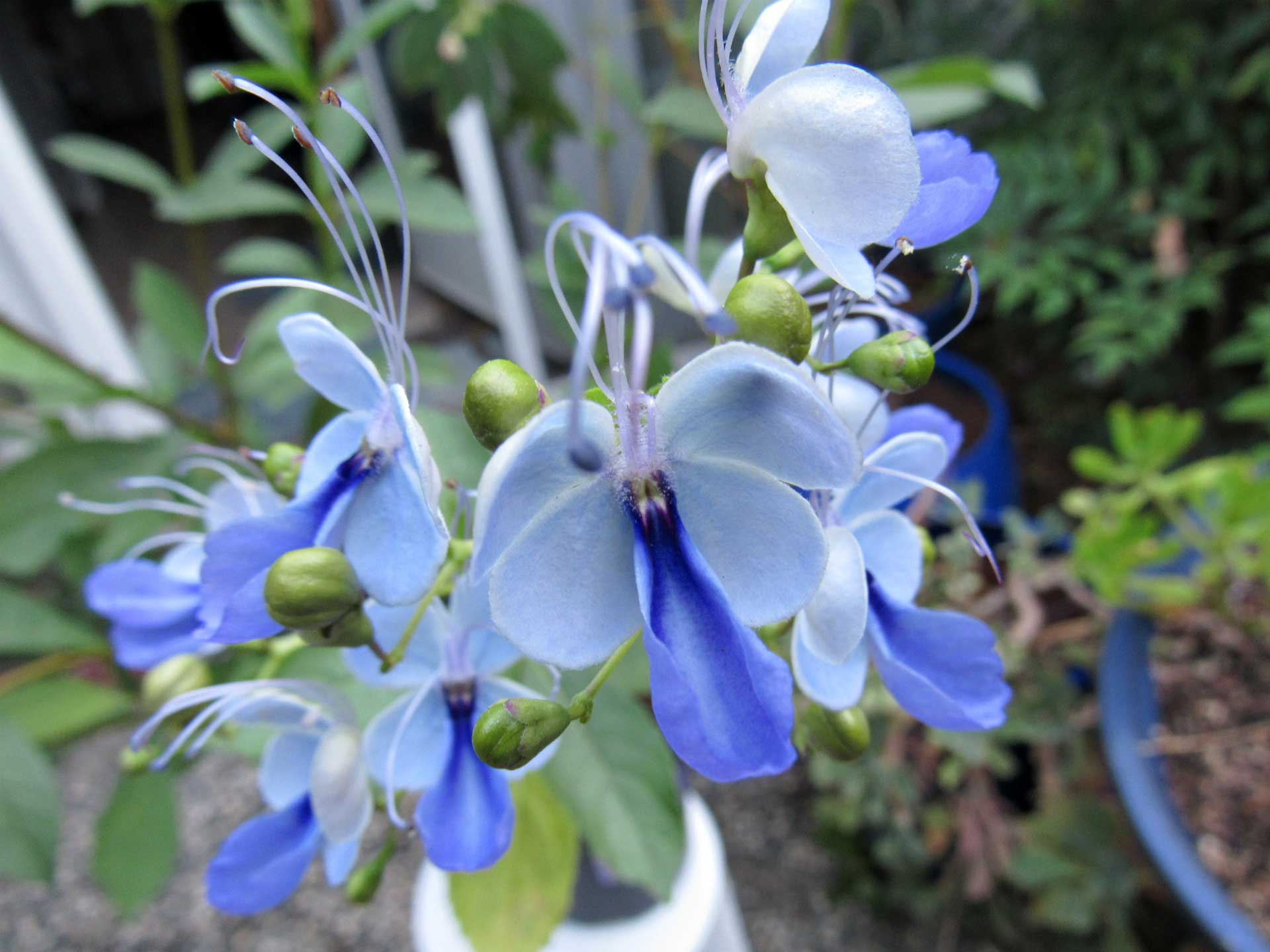 Clerodendrum-ugandese