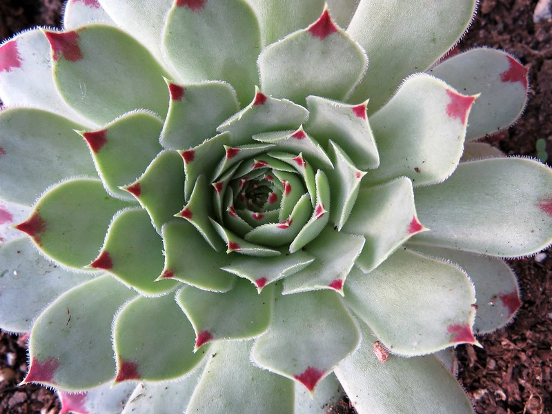 hen-and-chicks succulent