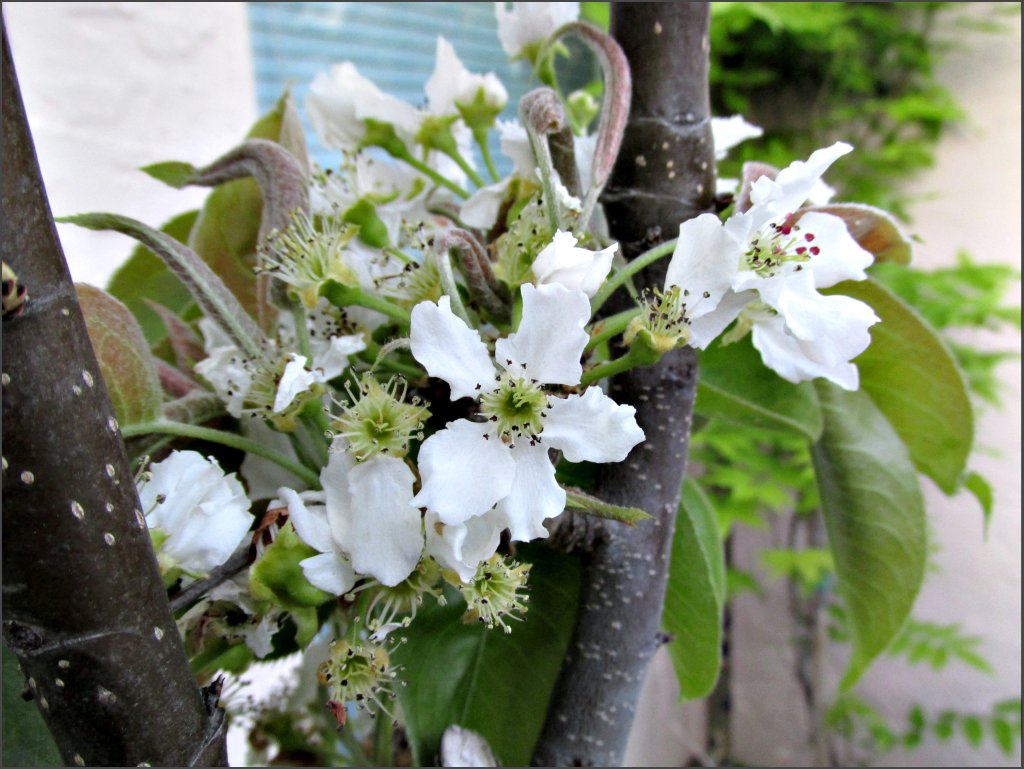 asian_pear_blossoms