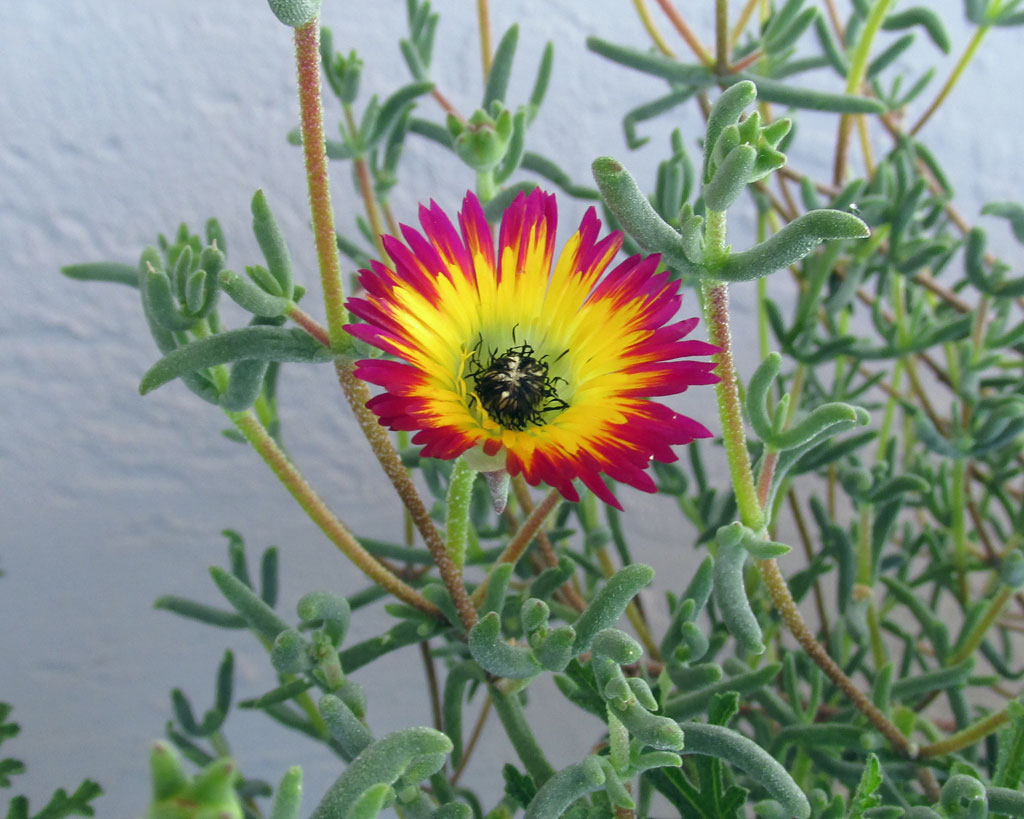 drosanthemum