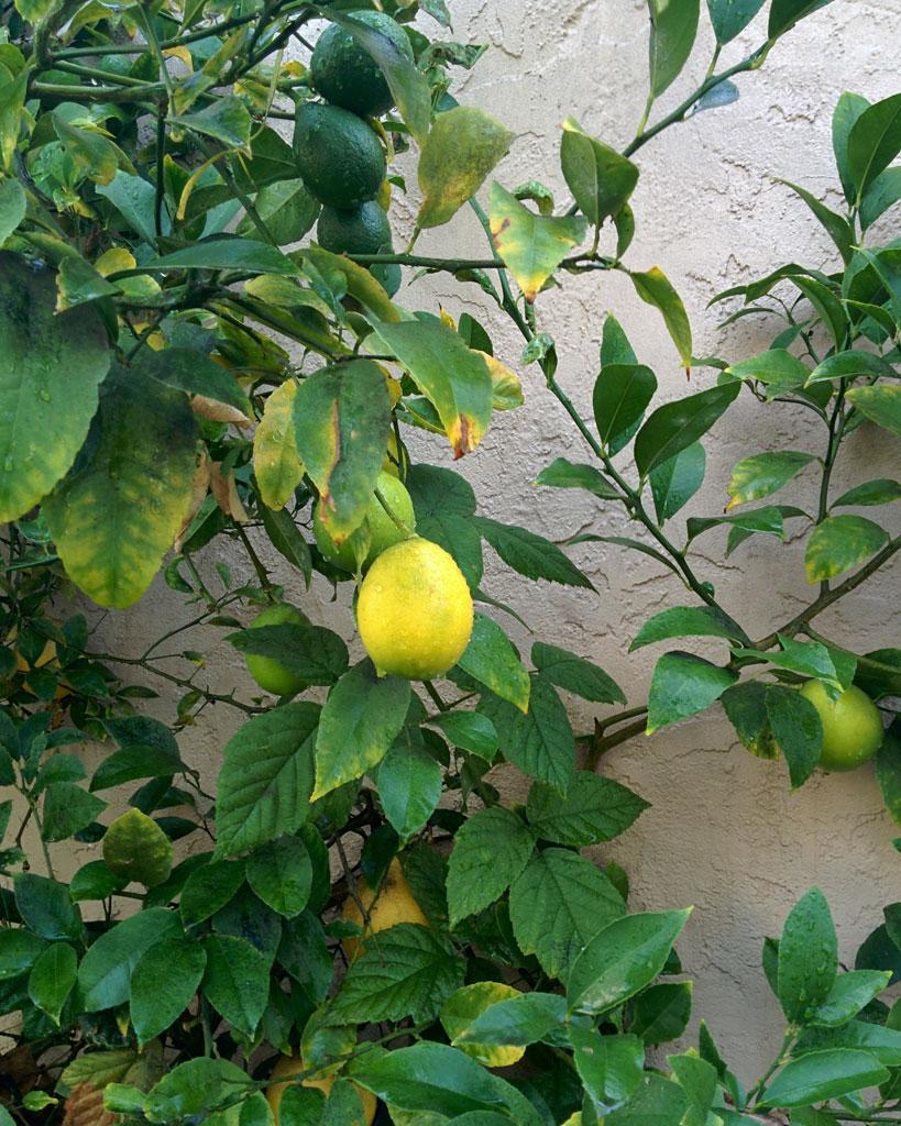meyer_lemon_october