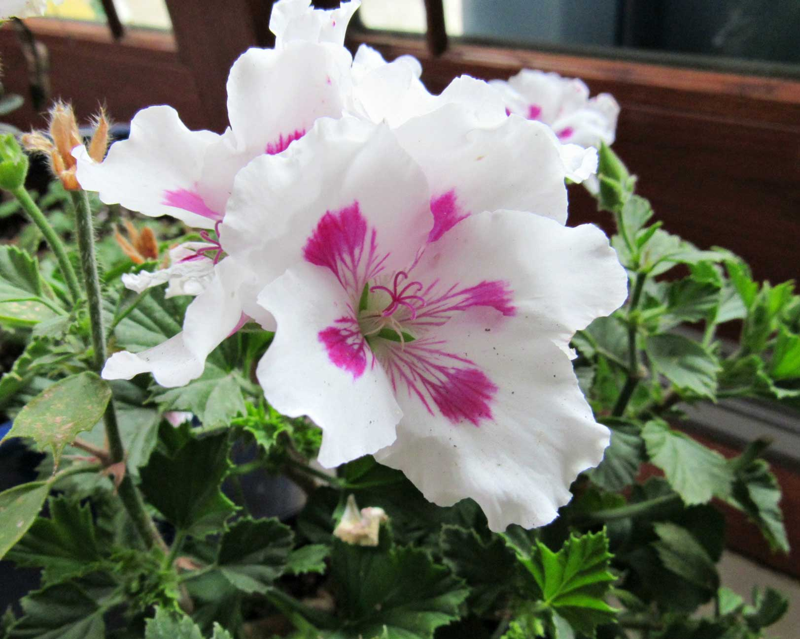 mw-geranium