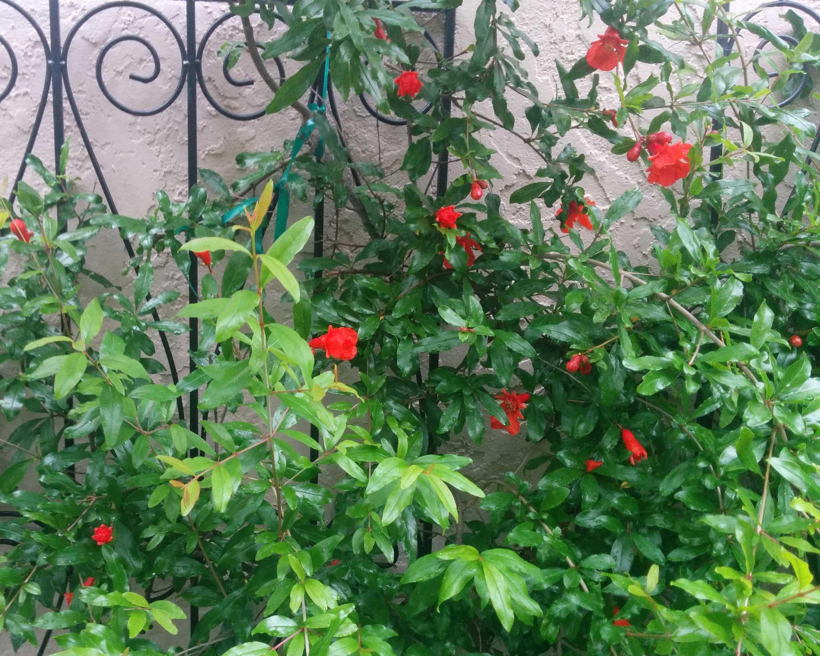 pomegranate-flowers