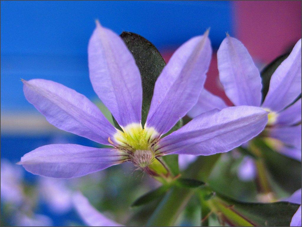 purple_fan_flower