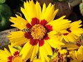coreopsis-with-hover-fly