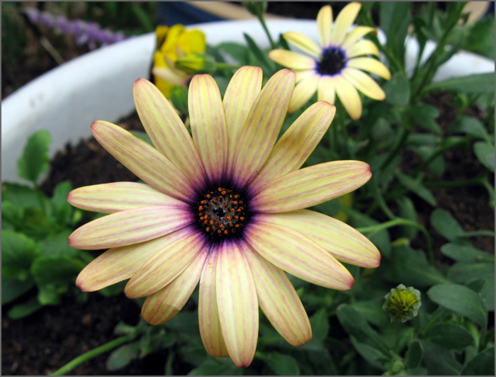 cape_daisy