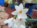Narcissus-acinothera
