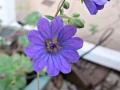 bill-wallis-geranium