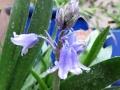 woodland-hyacinth-rain