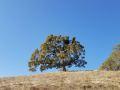 Valley Oak on hilltop