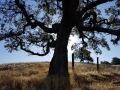 Valley Oak silhouette