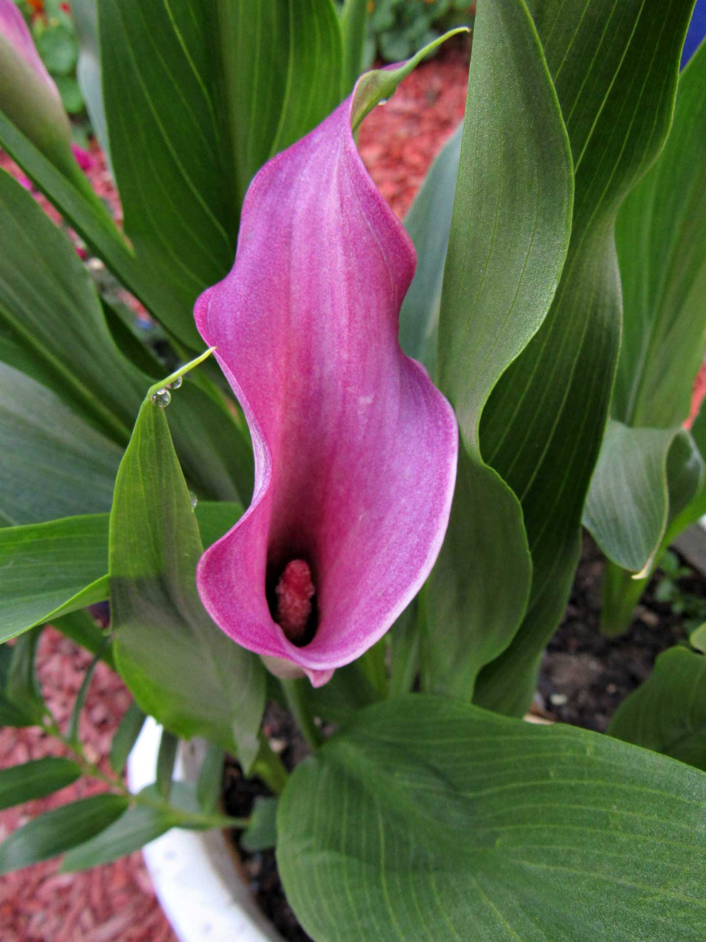 2019-june-canna-lily