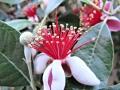 feijoa-blossom