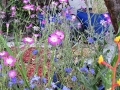 Pink Corncockles and Blue Alkanet
