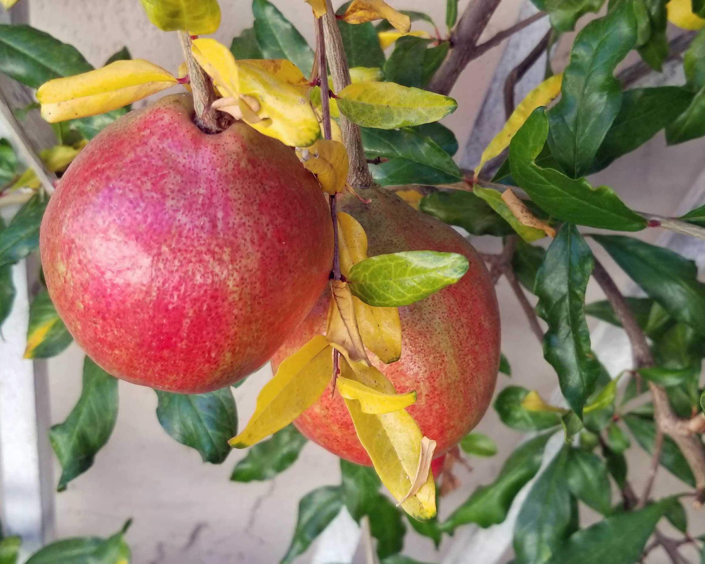 Pomegranates 2018