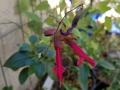 Firecracker Salvia
