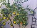 Pruned Lemon Tree