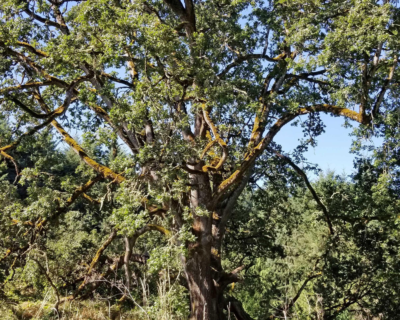 garry-oak